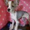 幼犬チャイクレMIX男の子です。