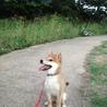 柴犬 子犬 9ヶ月