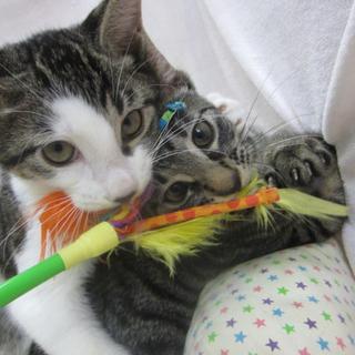 おもちゃ大好きなキジトラの男の子です!