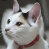 猫好き白ミケ♪ 7ヶ月位
