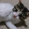 三毛猫のかぎしっぽちゃんです