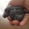 デグー5匹。生後3週間。メス2匹、オス3匹。