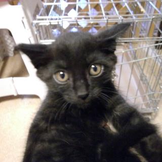 黒猫子猫のホープ☆男の子手術済☆3か月