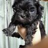 チワワとペキニーズの可愛い子犬です。