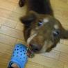 『ビリー』人も犬も大好きでフレンドリーな子です サムネイル3