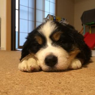 バーニーズの子犬の里親募集します。