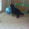バーニーズの子犬の里親募集します。 サムネイル2