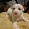 希望あり。保健所犬から生まれた子犬兄妹の女の子1