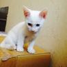 オッドアイ!(片目がブルー)白猫♂