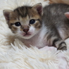 福岡:動物病院発! 8匹多頭遺棄 シマ白 男の子