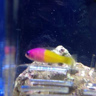 バイカラードッティーバック(海水魚)