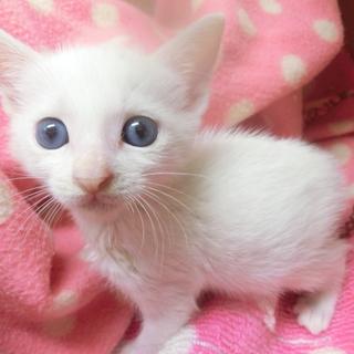 生後1カ月半の白の美人女の子です!