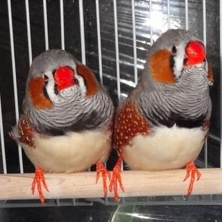 ジャンボキンカ鳥★男の子(2羽)