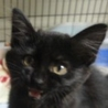 北海道 幸運を呼ぶ黒猫の鍵しっぽ、子猫です!
