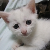ふわっふわでたれ目の白猫 べーたくん 1ヶ月