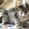 子猫 キジ メス 3ヶ月の里親様になって下さい