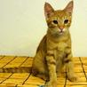 茶トラのオスの仔猫。人懐っこいです!