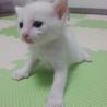 白猫 メス