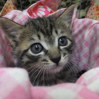 生後一ヶ月のキジトラの男の子です