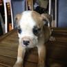 アメリカンブルドック1.5ヶ月 仔犬