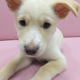 生後1カ月半ふわふわ可愛い雑種の子犬です。
