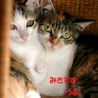 世田谷キャンディーズみきちゃん♀3~4か月