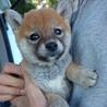 小ちゃい!生後2ヶ月のマメ柴犬の女の子