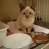 シャム猫MIX 5ヶ月