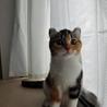 アメリカンカール☆三毛の女の子です☆5ヶ月