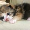可愛い子猫の里親募集中!