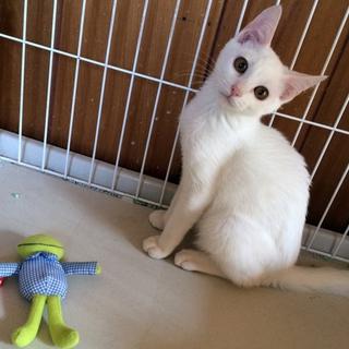 琥珀色の瞳の白子猫