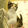 活発な甘えっ子の三毛・子猫