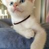 元気いっぱい白猫「あずま」くん(トライアル中)