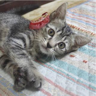 七夕生まれの甘えん坊トラねこ。