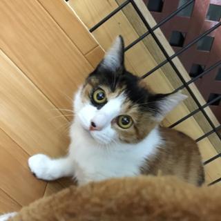 三毛猫女の子かりん✿6か月✿手術済