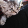 キジトラ長毛の女の子♡生後約2ヶ月弱