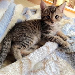 10月初め生まれのキジトラオスの仔猫です