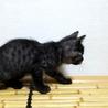 おてもやん黒トラ♀ お見合いにより里親様決定! サムネイル6