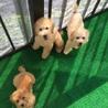 トイプードル 子犬 兄弟3匹