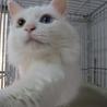 長毛白猫さん