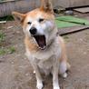 柴犬♀ かぐらちゃん サムネイル2