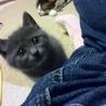 グレーの美猫♀みやまちゃん サムネイル3