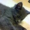 グレーの美猫♀みやまちゃん サムネイル2