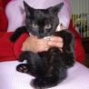 美人系黒猫3カ月(れんげちゃん)