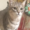 生後6ヶ月のさばトラ子猫の里親募集