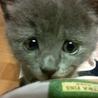グレーの美猫♀みやまちゃん サムネイル5