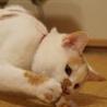 元気で綺麗な白三毛のアラレちゃんトライアル決定 サムネイル4