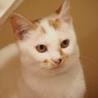元気で綺麗な白三毛のアラレちゃんトライアル決定 サムネイル6