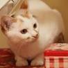 元気で綺麗な白三毛のアラレちゃんトライアル決定 サムネイル7
