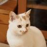 元気で綺麗な白三毛のアラレちゃんトライアル決定 サムネイル5